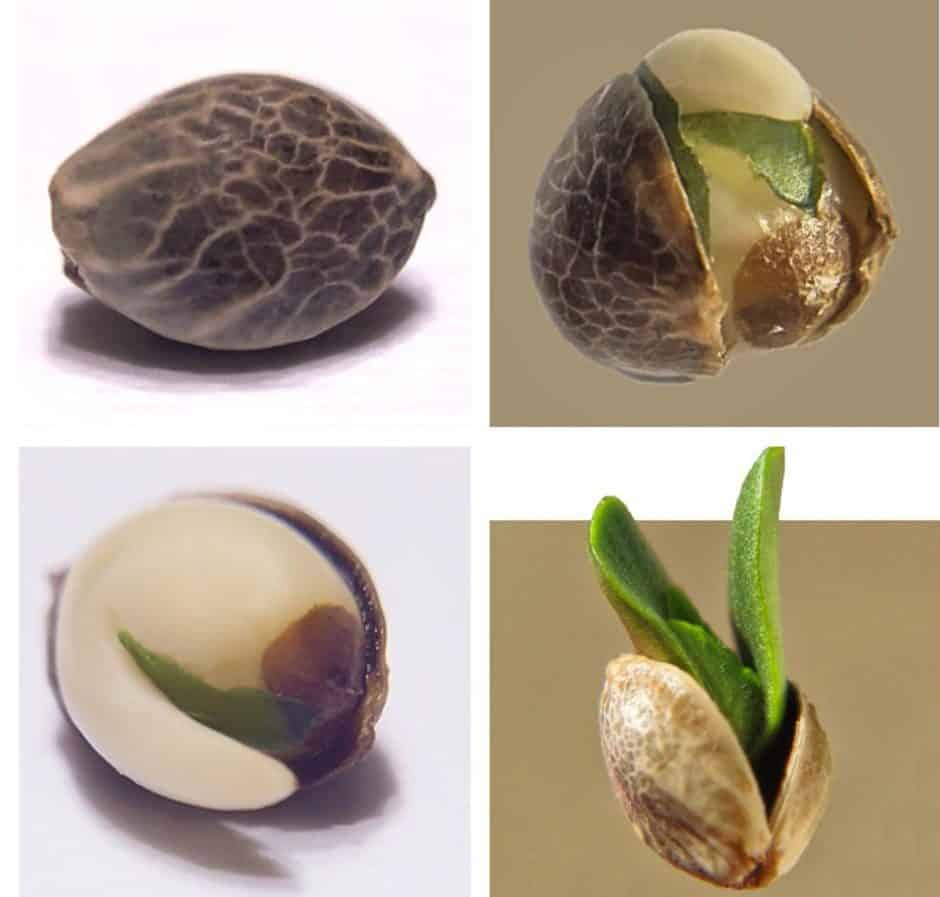 Cannabis Germination process