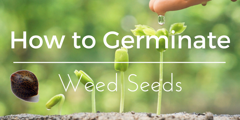 How to germinate weed seeds
