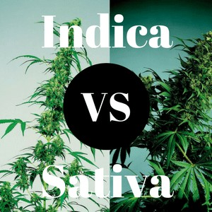 Cannabis Indica and Sativa Difference