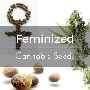 Feminized Cannabis Seeds - No male plants