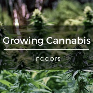 Growing Cannabis Indoors - How to start