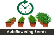 Autoflowering cannabis seeds fast quality