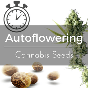 Autoflowering Cannabis Seeds and the Photoperiod