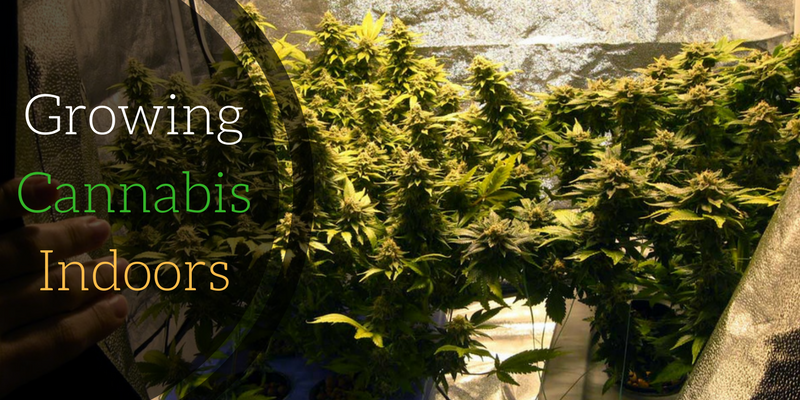 Growing Cannabis Indoors How To Start