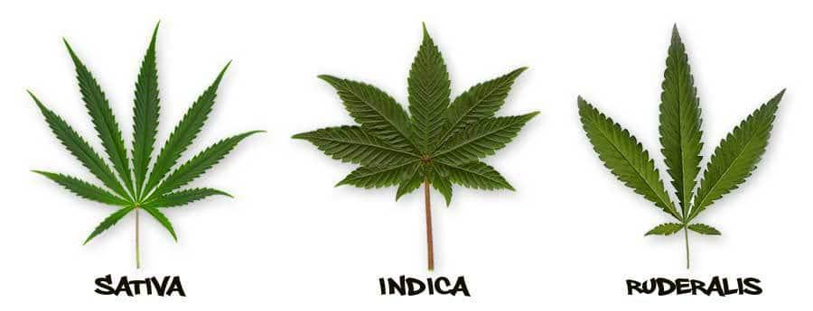 cannabis ruderalis