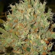 BORDERLINER XTRM FEMINIZED