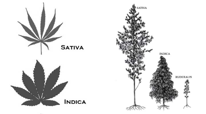 Cannabis growth
