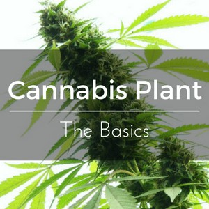 The Cannabis Plant – Basics