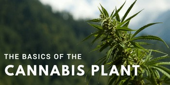cannabis plant basics