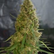 LIGHT OF JAH FEMINIZED