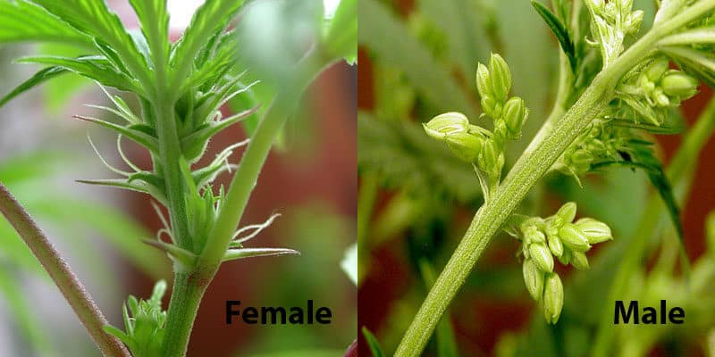 Cannabis male & female