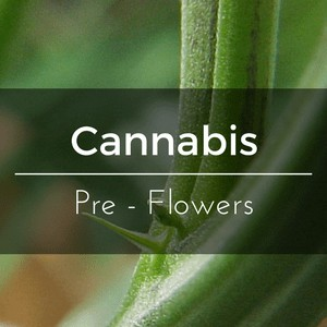 Cannabis Pre Flowers - Recognize the sex