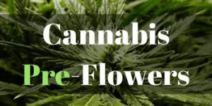 cannabis pre flowers