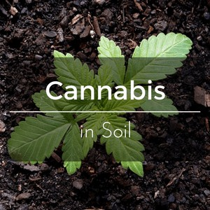Best Soil for Cannabis - Growing Cannabis in Soil