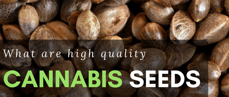 high quality cannabis seeds