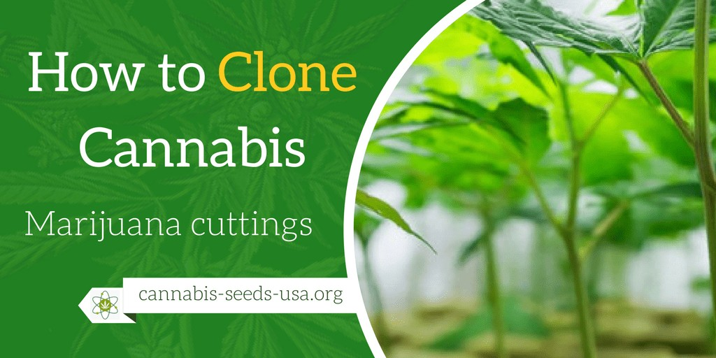 How to Clone Cannabis
