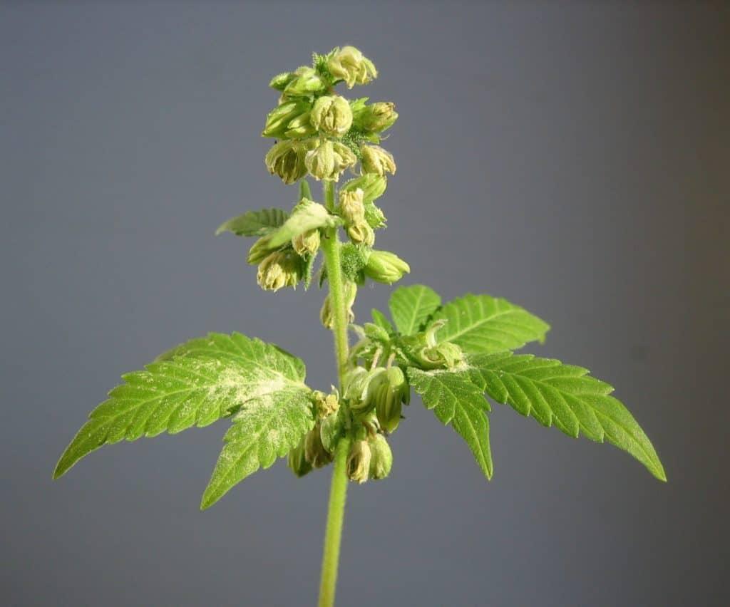 male cannabis plant