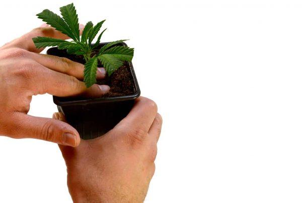 Making Cannabis Clones in Soil