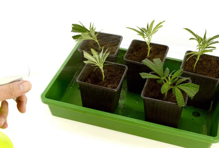 Making Cannabis Clones in Soil