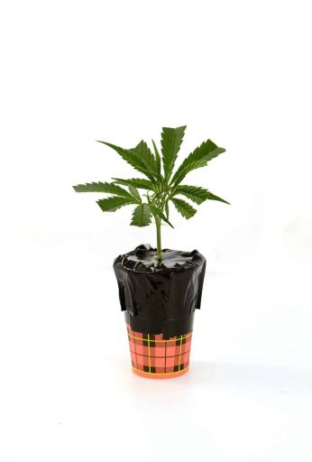 Making Cannabis Clones in Water