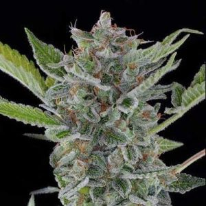 WHITE WIDOW XTRM FEMINIZED