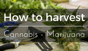 How to harvest Cannabis plants - Marijuana Buds