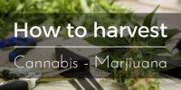 how to harvest Cannabis - Marijuana