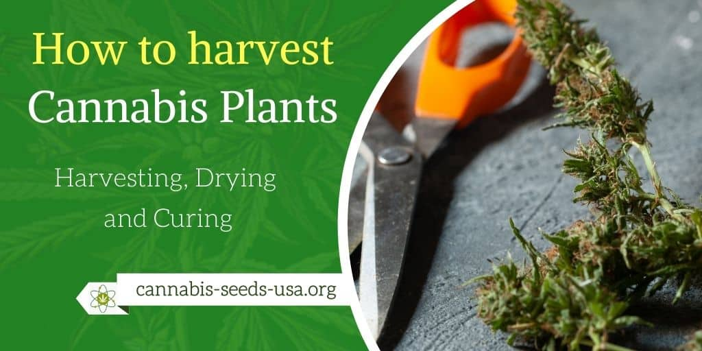How to harvest Cannabis plants