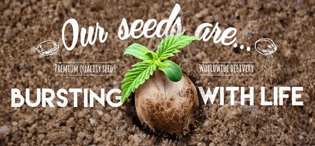 Cannabis Seeds usa pintrest