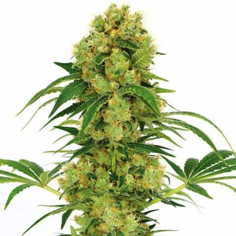 big-bud-marijuana-seeds_