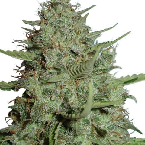 california-dream-marijuana-seeds