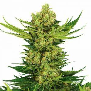 cheese-marijuana-seeds