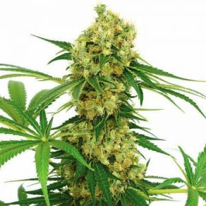 chocolope-marijuana-seeds_large