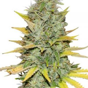 gold-leaf-marijuana-seeds