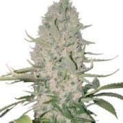 power-plant-seeds-fem