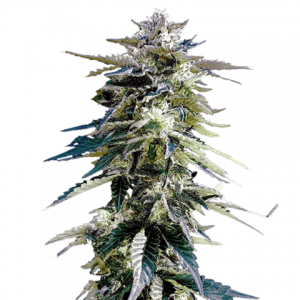 purple-haze-seeds_large