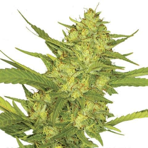 sour-diesel-marijuana-seeds