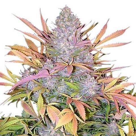strawberry-cough-seeds-fem