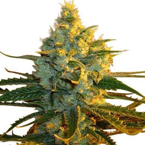 super-lemon-haze-seeds