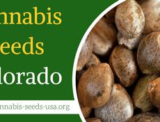 Cannabis Seeds Colorado FI