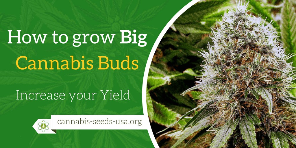 How to grow big Cannabis Buds and Increase your Marijuana yield