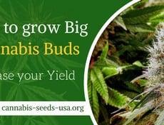 How to grow big Cannabis Buds and Increase your Marijuana yield2