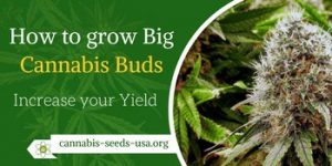 How to grow big Cannabis Buds and Increase your Marijuana yield2
