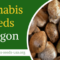 Cannabis Seeds Oregon – Infos & Seeds