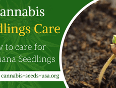 Cannabis Seedling Care