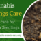 Cannabis Seedlings Care – How to care for Marijuana Seedlings