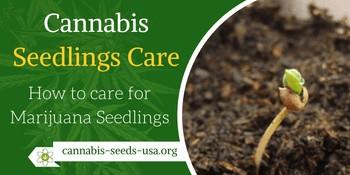 Cannabis Seedling Care