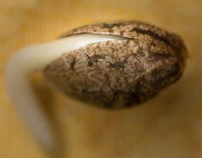 faster germination