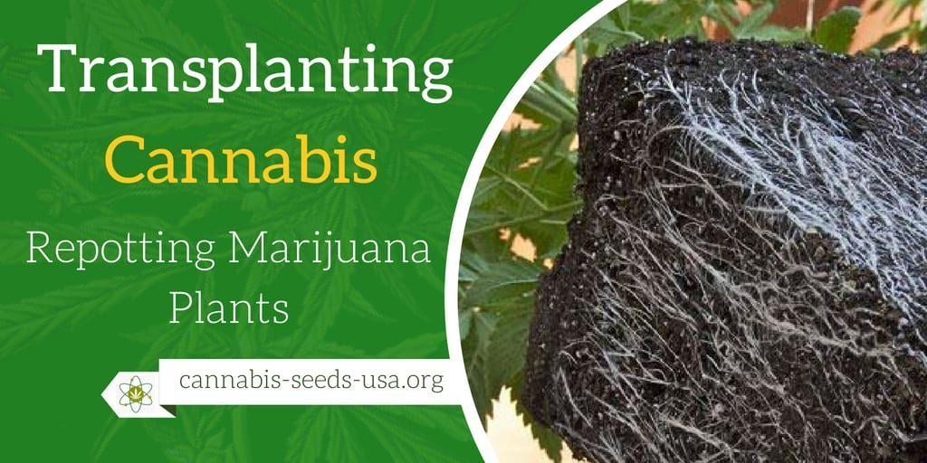 transplanting cannabis plants