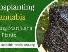 TRansplanting Cannabis Plants FI